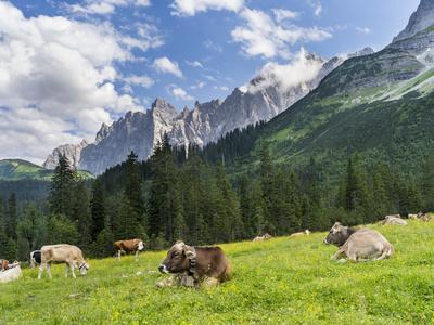 Grazing Cattle, Tyrol, Austria
