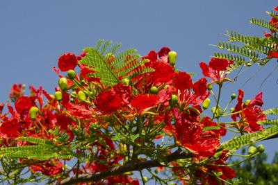 Flamboyant Tree in Bloom, Ile Royale, Salvation Islands, French Guiana
