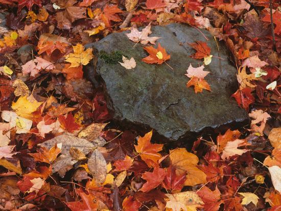 Forest Floor in Fall, World's End State Park, Pennsylvania, USA
