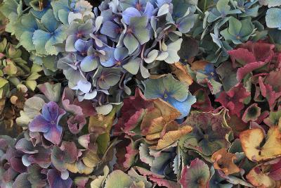 Hydrangeas in Garden, Portland, Oregon, USA