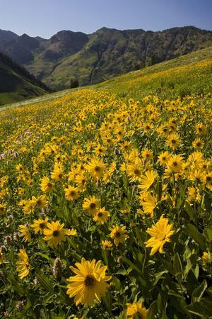 Sunflowers Meadow, Little Cottonwood Canyon, Albion Basin, Utah, USA
