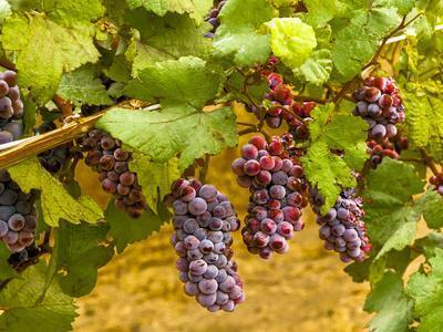 Pinot Noir Grapes in Eastern Yakima Valley, Washington, USA