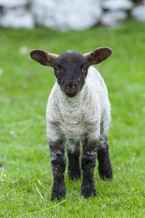 Shetland Sheep, a hardy breed of the Northern Isles in Scotland.