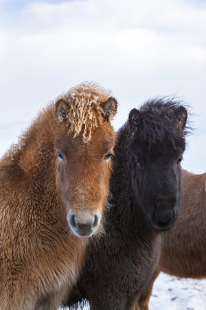 Icelandic Horse During Winter with Typical Winter Coat, Iceland
