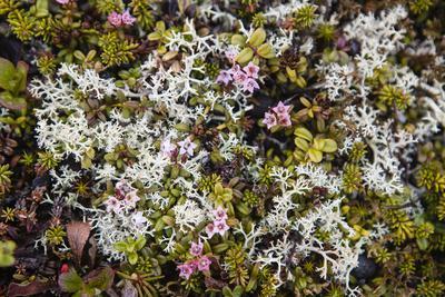 Russia, Kamchatka, Karaginsky Island, Tundra Vegetation Wildflowers