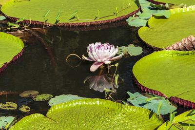 Suriname, Paramaribo. Water Lily and Lily Pads at Fort Nieuw Amsterdam