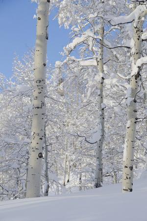 Fresh Snow, Big Cottonwood Canyon, Uinta Wasatch Cache Nf, Utah