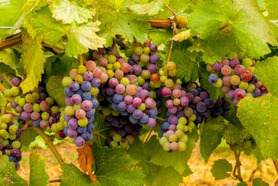 USA, Washington, Okanogan Valley. Pinot Grapes Ripen During Veraison