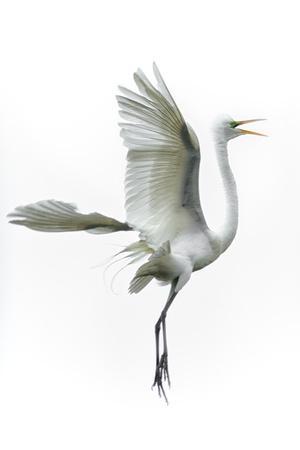 Great Egret in Flight Returning to Nest