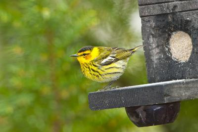 Minnesota, Mendota Heights, Cape May Warbler Perched on Bird Feeder