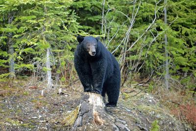A Black Bears, Forages for Greens in Spring in the Mountains of B.C.