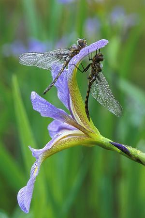 USA, Pennsylvania. Two Dragonflies on Iris Flower