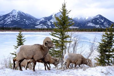Bighorn Sheep Against Athabasca River, Jasper National Park, Alberta, Canada