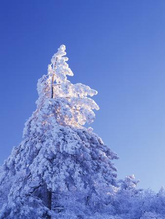 California, Cleveland Nf, Laguna Mountains, Snow Covered Pine Tree