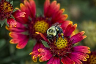 Close Up of Bumblebee with Pollen Basket on Indian Blanket Flower