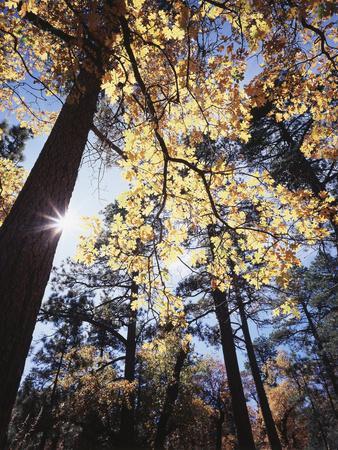 California, Laguna Mountains, Cleveland Nf, California Black Oak Tree
