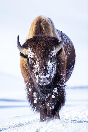 Wyoming, Yellowstone National Park, Bull Bison Walking in Hayden Valley