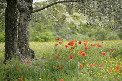 France, Vaucluse, Lourmarin. Poppies under an Olive Tree
