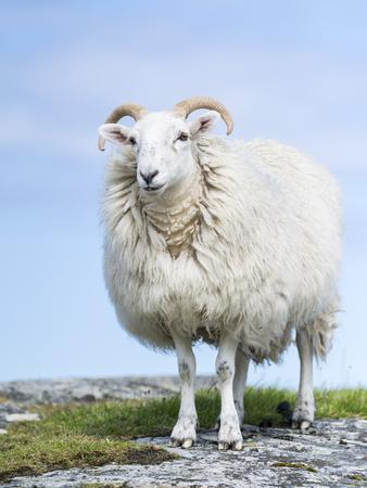 Portrait of a Cheviot Sheep on the Isle of Harris. Schotland