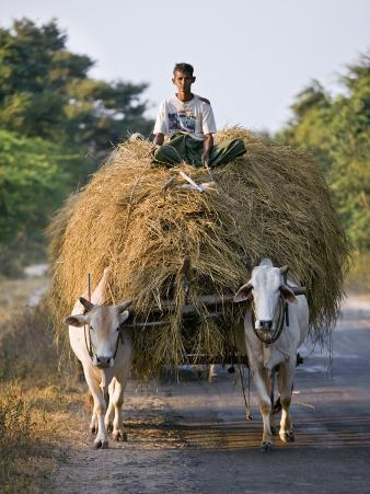 Myanmar, Burma, Bagan, A Farmer Takes Home an Ox-Cart Load of Rice Straw for His Livestock