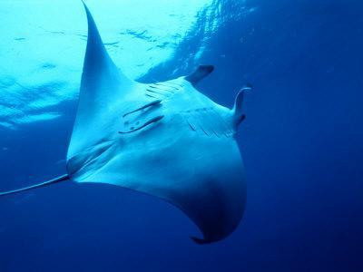 Underside of Manta Ray Between Batteaux Bay and Little Tobago Island, Trinidad & Tobago