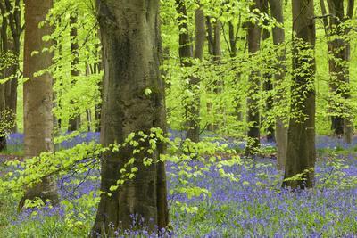Bluebell Carpet in a Beech Woodland, West Woods, Lockeridge, Wiltshire, England. Spring