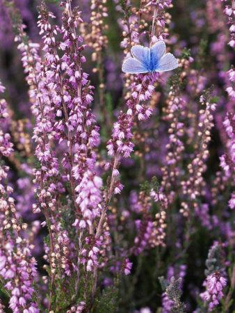 Heather with Butterfly, England