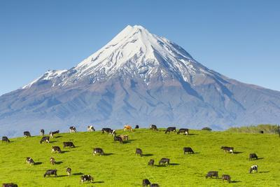 Mount Taranaki (Egmont) and Grazing Dairy Cows, Taranaki, North Island, New Zealand