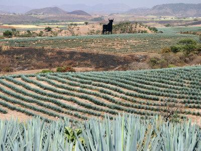 Agave Fields Near Guadalajara