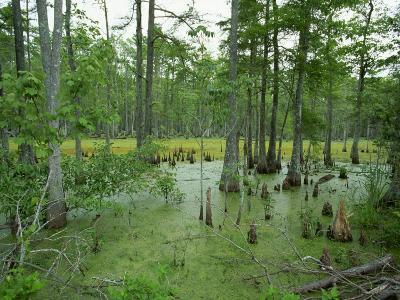 Atchofalaya Swamp in the Heart of Cajun Country, Near Gibson, Louisiana, USA