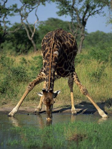 close up of a single southern giraffe bending down drinking, kruger