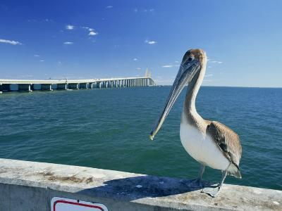 Brown Pelican in Front of the Sunshine Skyway Bridge at Tampa Bay, Florida, USA