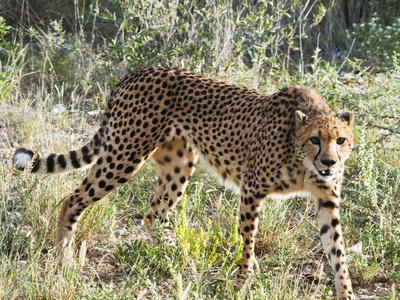 Cheetah, (Acinonyx Jubatus), Namibia, Africa