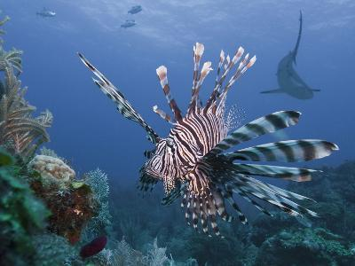 Lionfish (Pterois Volitans), and Caribbean Reef Shark (Carcharhinus Perezii), Roatan, Honduras
