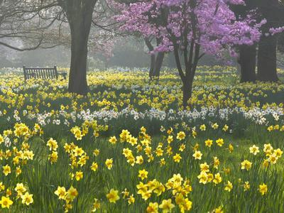 Daffodils and Blossom in Spring, Hampton, Greater London, England, United Kingdom, Europe