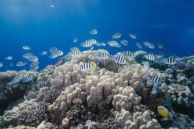 School of Sergeant Major Fish over Pristine Coral Reef, Jackson Reef, Off Sharm El Sheikh, Egypt