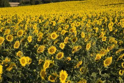 Sunflowers, Provence, France, Europe
