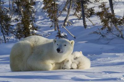 Polar Bear (Ursus Maritimus) and Cubs, Wapusk National Park, Churchill, Hudson Bay, Canada