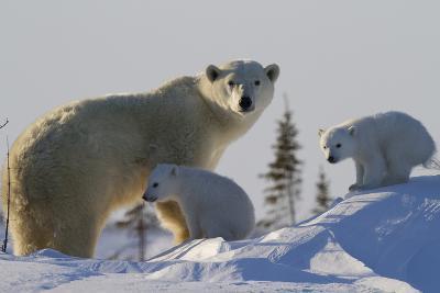Polar Bear (Ursus Maritimus) and Cubs, Wapusk National Park, Churchill, Hudson Bay, Canada