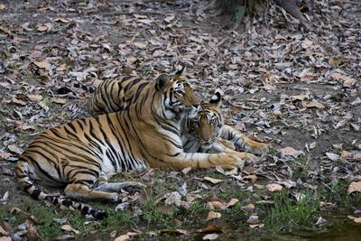 Indian Tigress, (Bengal Tiger) (Panthera Tigris Tigris) with Her Cub, Bandhavgarh National Park