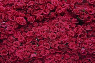 Roses for Sale, Delhi, India, Asia