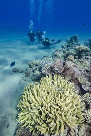 Coral Reef and Three Scuba Divers, Naama Bay, Sharm El-Shiekh, Red Sea, Egypt, North Africa, Africa