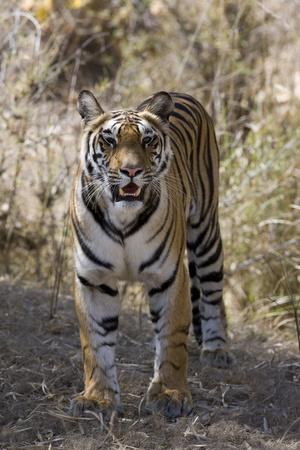 Indian Tiger, (Bengal Tiger) (Panthera Tigris Tigris), Bandhavgarh National Park
