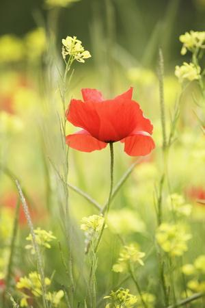 Single Poppy in a Field of Wildflowers, Val D'Orcia, Province Siena, Tuscany, Italy, Europe
