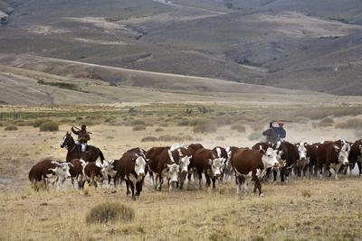 Gauchos with Cattle at the Huechahue Estancia, Patagonia, Argentina, South America