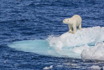 Adult Polar Bear (Ursus Maritimus)