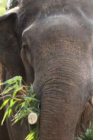 Indian Elephant (Elephas Maximus Indicus), Bandhavgarh National Park, Madhya Pradesh, India, Asia