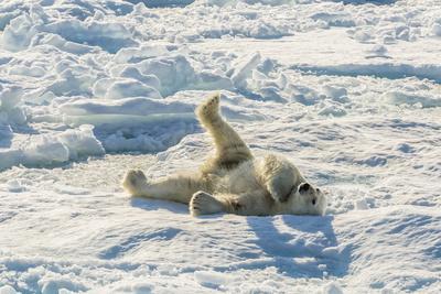 Adult Polar Bear (Ursus Maritimus) Cleaning Fur on Ice Floe