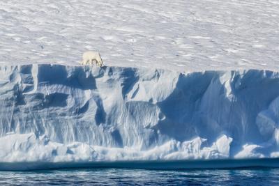 An Adult Polar Bear (Ursus Maritimus) on the Edge of a Huge Iceberg in Arctic Harbour
