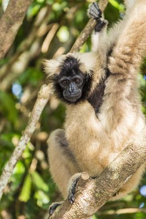 Adult Female Pileated Gibbon (Hylobates Pileatus) Adopted by Monks at Wat Hanchey